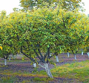Aprikosenbaum Steckbrief